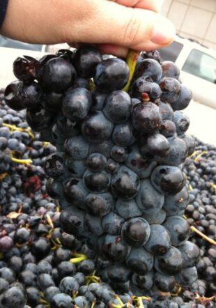 barbera wijn druiven
